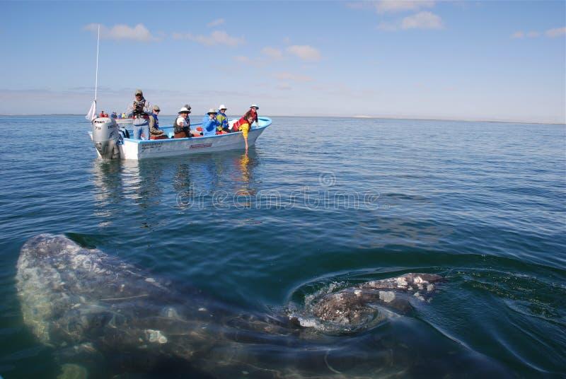 Walvis die op San Ignace Lagoon Baja Californië let stock foto