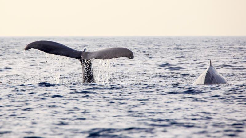 Walvis het Letten op royalty-vrije stock afbeelding