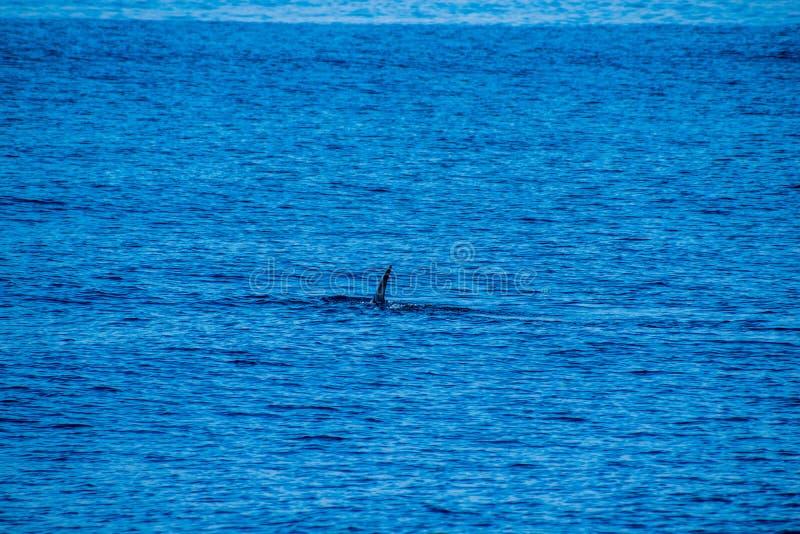 Walvis het letten op, de Azoren 2019, dichtbij Ponta Delgada stock foto's