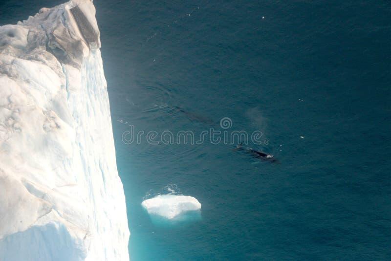 Walvis het letten op in een Ilulissat-middernacht met boot van luchtmening stock afbeeldingen