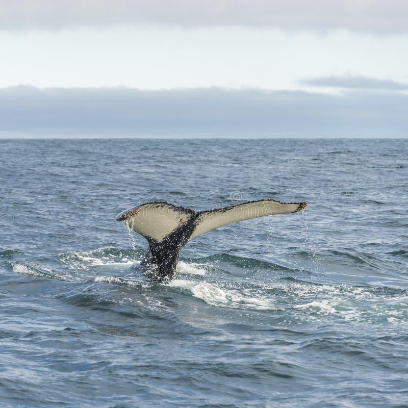 Walvis het letten op safari met gebocheldewalvissen in IJsland royalty-vrije stock afbeeldingen