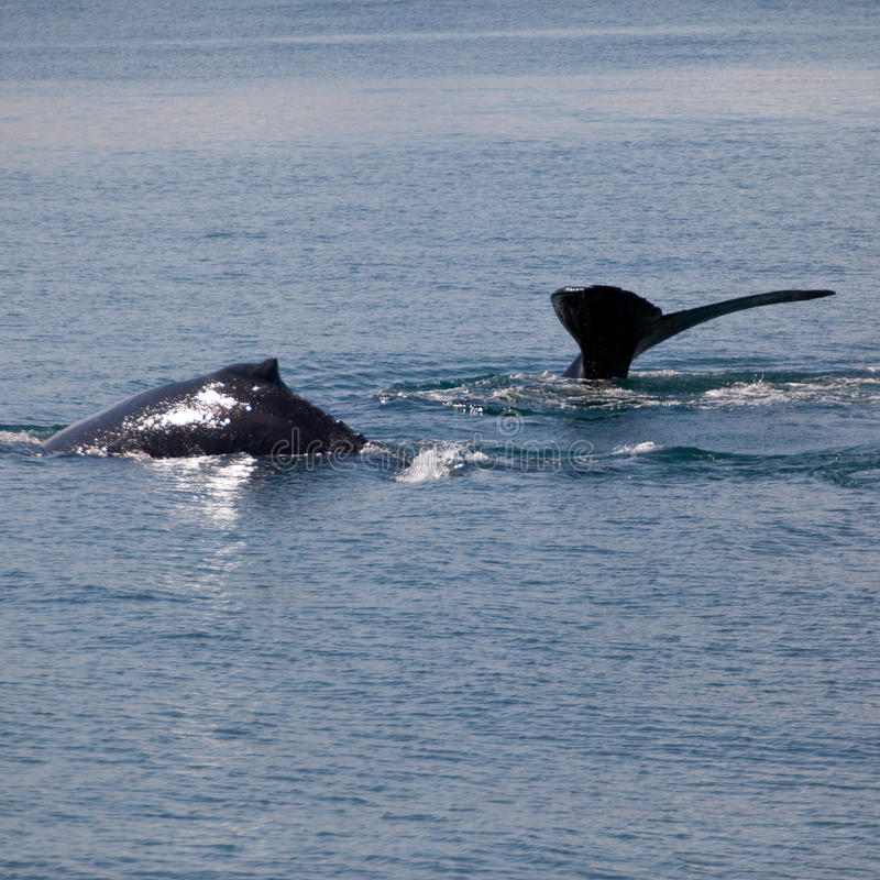 Walvissen stock fotografie