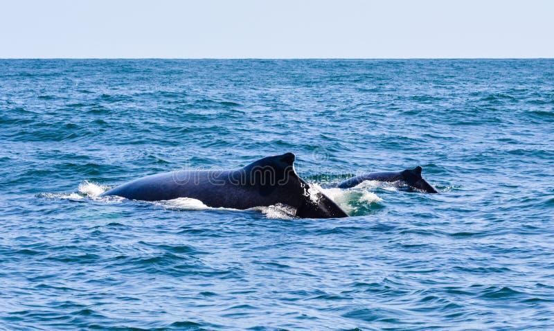 Walvissen: mamma en jong geitje stock foto
