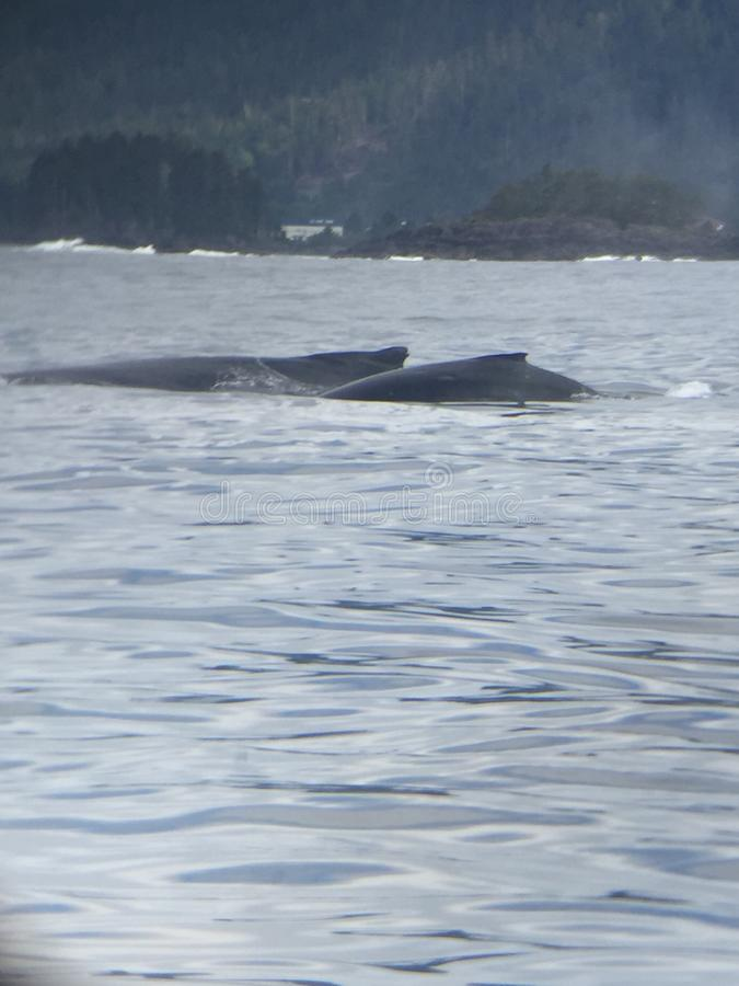 Walvisvinnen royalty-vrije stock afbeelding
