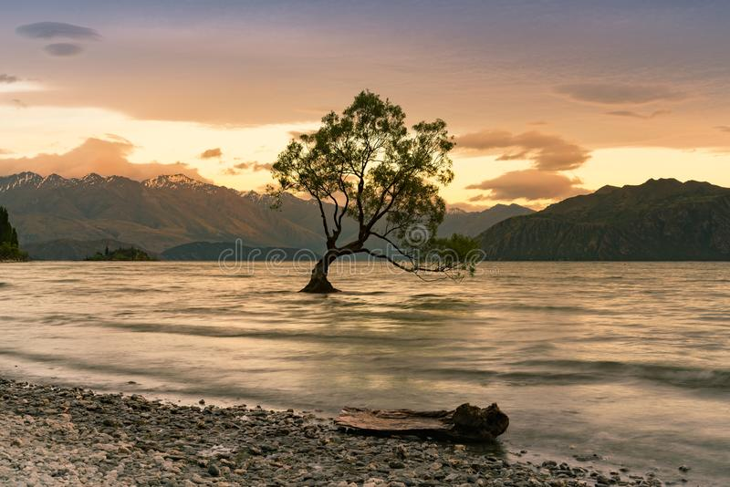 Wanaka tree alone in water lake, New Zealand stock image