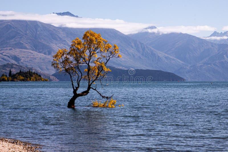 Wanaka tree in autumn, New Zealand royalty free stock image