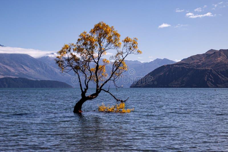 Wanaka tree in autumn, New Zealand stock images