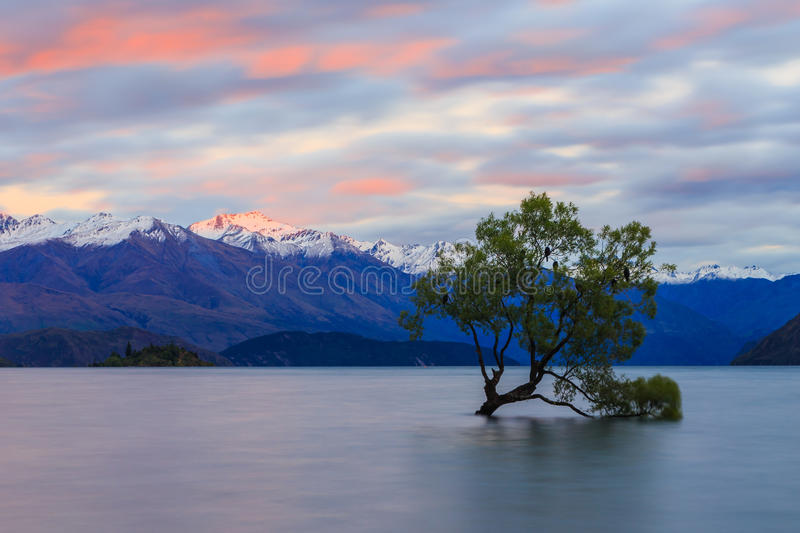 Wanaka Tree royalty free stock photo