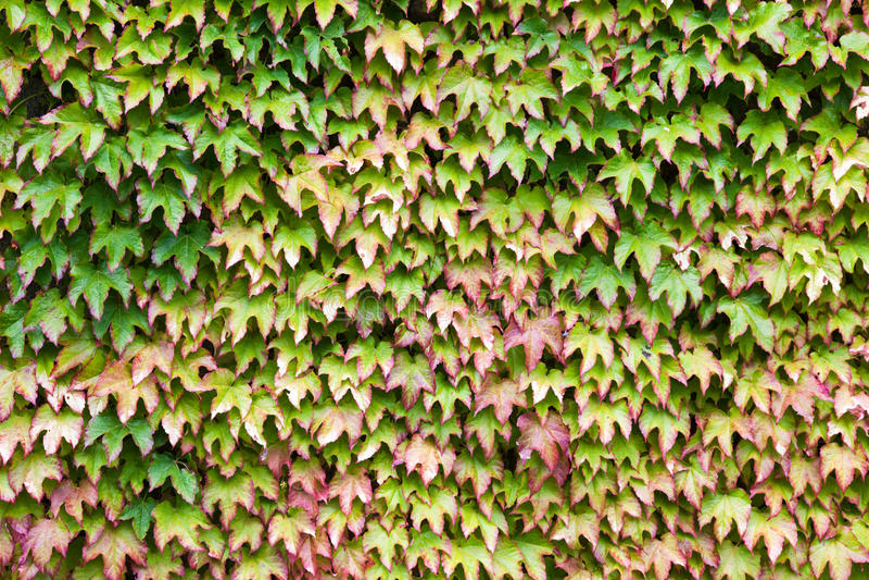 Wand abgedeckt im grünen und roten Efeu stockbild