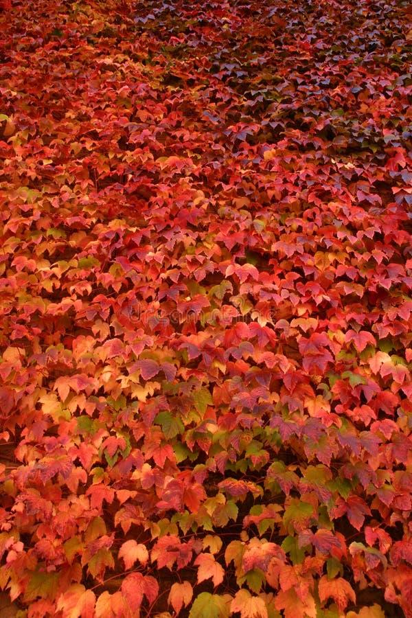 Wand des roten Efeus im Herbst stockbilder
