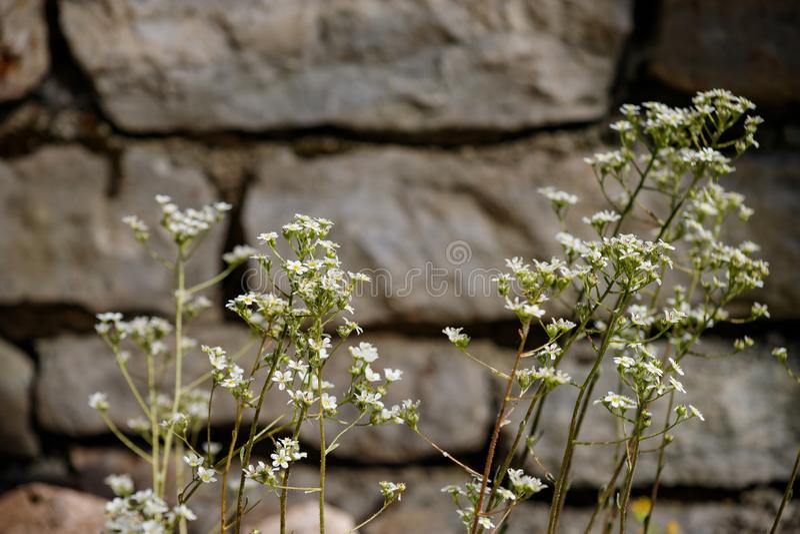 Wand des Steins gestickt mit einer Anlage mit kleinem Hintergrund der weißen Blumen stockbild