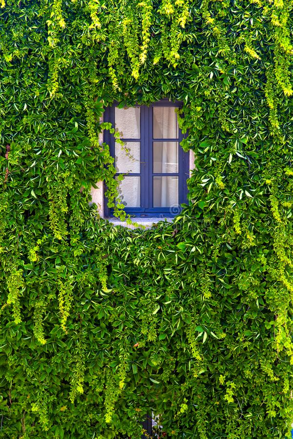 Wand eines Hauses mit dem Fenster bedeckt mit Efeu lizenzfreies stockbild