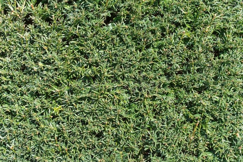 Wand von Nadelbäumen als natürlichen Hintergrund stockfoto