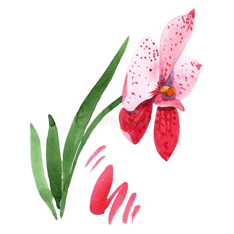 Wanda rojo de la orquídea Flor botánica floral Wildflower salvaje de la hoja de la primavera aislado ilustración del vector