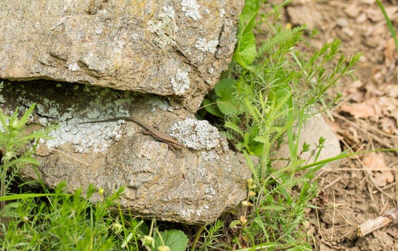Wandeidechse auf einem Felsen stockbild