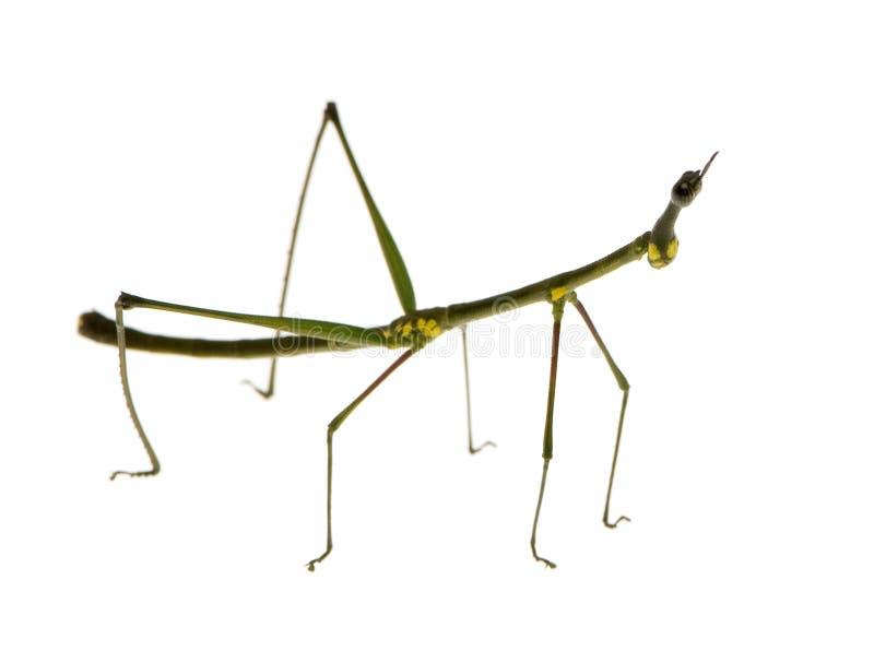 Wandelend tak, peruana Phasmatodea - Oreophoetes royalty-vrije stock foto's