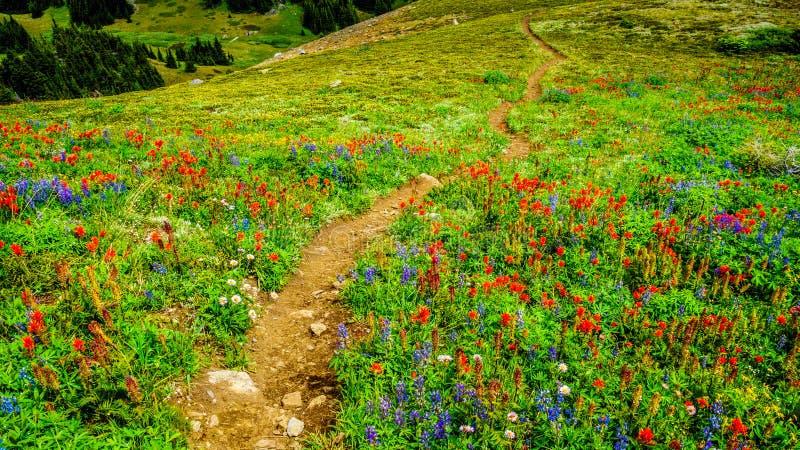 Wandeling door Alpien Weidenhoogtepunt van kleurrijke Wildflowers aan Tod Mountain stock fotografie