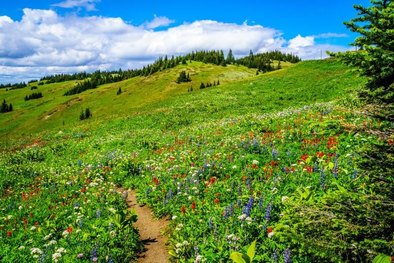 Wandeling door de berg alpiene weiden met wilde Bloemen op Tod Mountain royalty-vrije stock foto