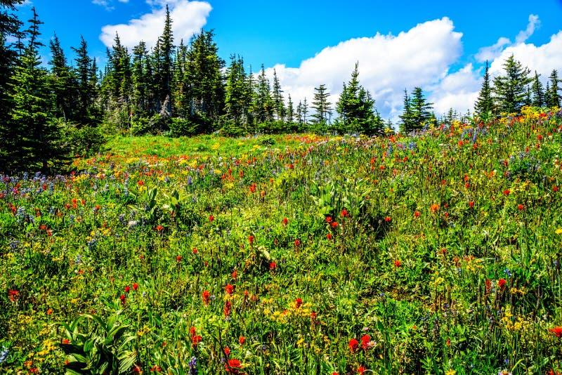 Wandeling door de berg alpiene weiden met wilde Bloemen op Tod Mountain royalty-vrije stock afbeelding