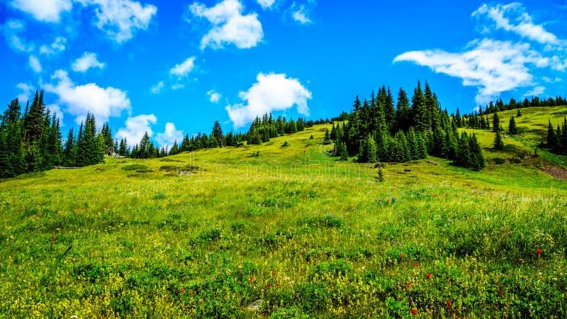 Wandeling door de berg alpiene weiden met wilde Bloemen op Tod Mountain stock afbeelding