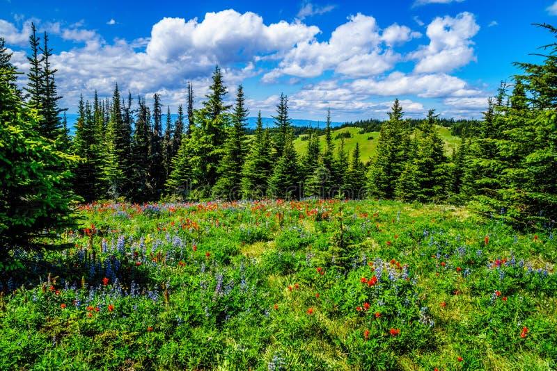 Wandeling door de berg alpiene weiden met wilde Bloemen op Tod Mountain stock fotografie