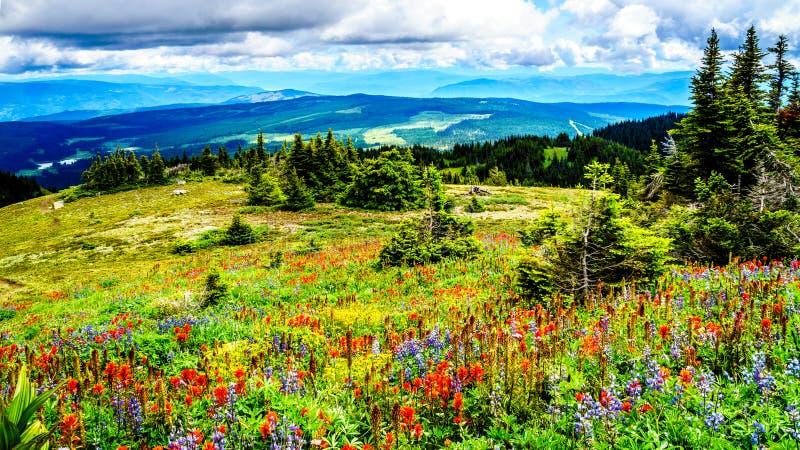 Wandeling door de hoge Alpiene die Weiden in Wilde Bloemen tot de bovenkant van Tod Mountain worden behandeld stock afbeeldingen
