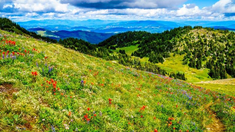 Wandeling door de hoge Alpiene die Weiden in Wilde Bloemen tot de bovenkant van Tod Mountain worden behandeld royalty-vrije stock foto