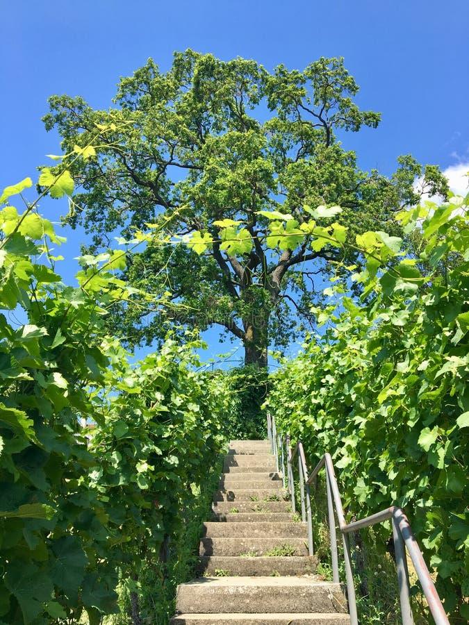 Wandeling in meersburg bij een vineyyard royalty-vrije stock fotografie