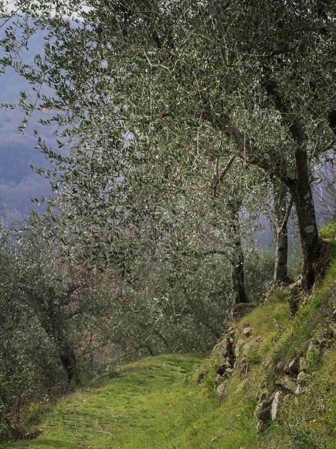 Wandelingssleep, weg thorugh olijfgaard, Lunigiana, Noord-Toscanië, Italië Mooi vreedzaam verticaal platteland, stock foto