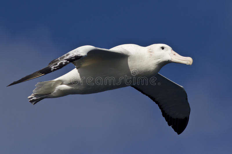 Wandering albatross on a background of sky stock image