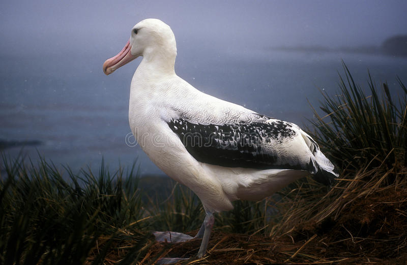 Wandering Albatross, South Georgia royalty free stock photo