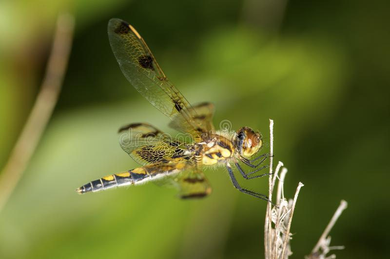 Wandering glider dragonfly perched on a twig in Connecticut. stock images