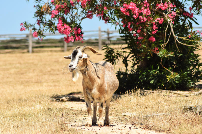 Wandering goat on beautiful Croatian islands. Wandering goat on the colourful island of Brijuni in Croatia which Tito, the long-lasting leader of former royalty free stock photos