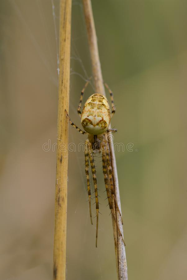Spider with long legs on a blade of grass in the forest royalty free stock photography