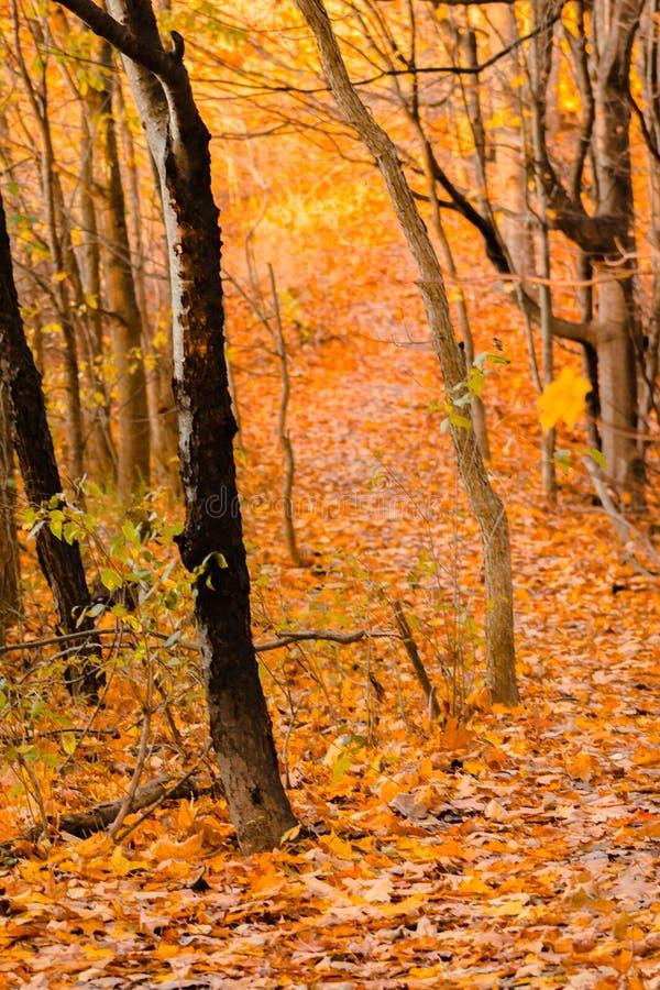 Wandern durch das Holz an einem Herbsttag nahe Grand Rapids Michigan stockbild