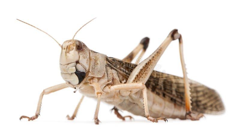 Wandernde Heuschrecke, Locusta migratoria stockfotos