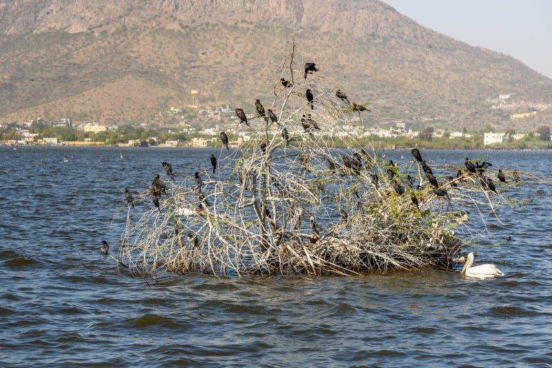 Wandernde Kormoran-Vögel auf See Anasagar in Ajmer Indien lizenzfreies stockbild
