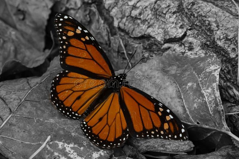 Wanderungsschwindel Monarch Butterfly stockfotografie