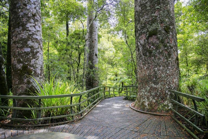 Wanderungsspur durch hohen Neuseeland-Baumwald stockfoto