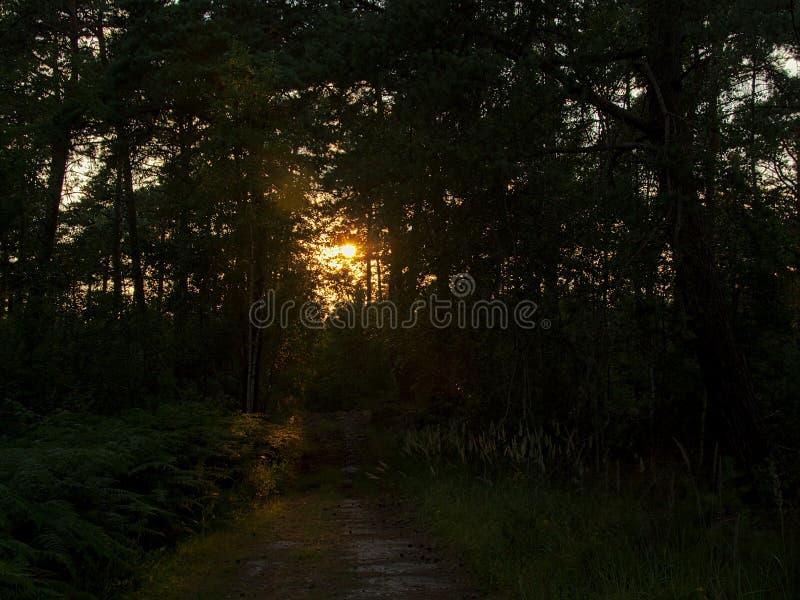 Wanderweg durch einen Kiefernwald im letzten Abendsonnenlicht in Ermonville lizenzfreie stockfotografie