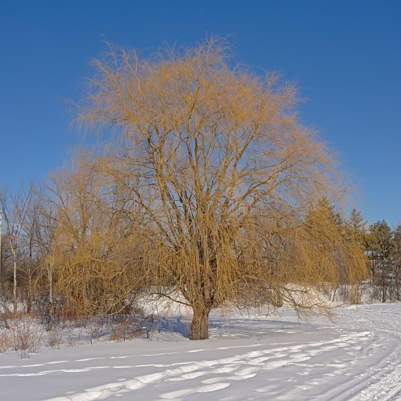 Wanderweg entlang Weide und andere Bäume im Schnee stockfotografie