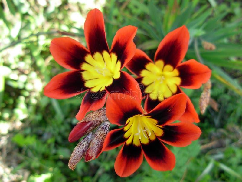 Wandflower photo libre de droits
