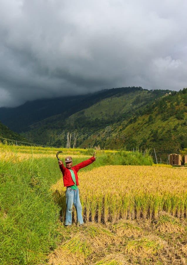 Wangdue Phodrang, Trongsa, Bhután - 15 de septiembre de 2016: Granjero butanés que celebra una hoz en un campo del arroz en Wangd foto de archivo