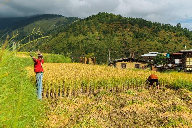 Wangdue Phodrang, Trongsa, Bhután - 15 de septiembre de 2016: Granjero butanés que celebra una hoz en un campo del arroz en Wangd imágenes de archivo libres de regalías