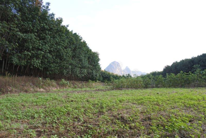 Wangsaphung - janvier 2017 - observation de symptôme des feuilles de soja images stock