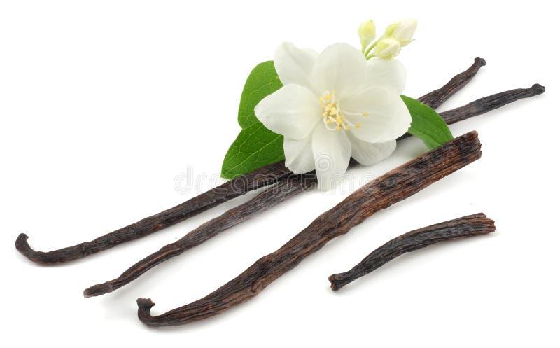 Wanilia wtyka z białym kwiatem odizolowywającym na białym tle fotografia stock