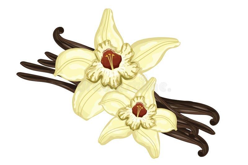 Wanilia wtyka z kwiatem na białym tle ilustracja wektor