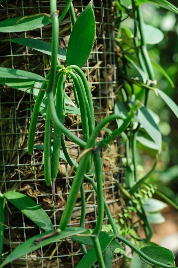 Waniliowe rośliny plantacja zdjęcia stock