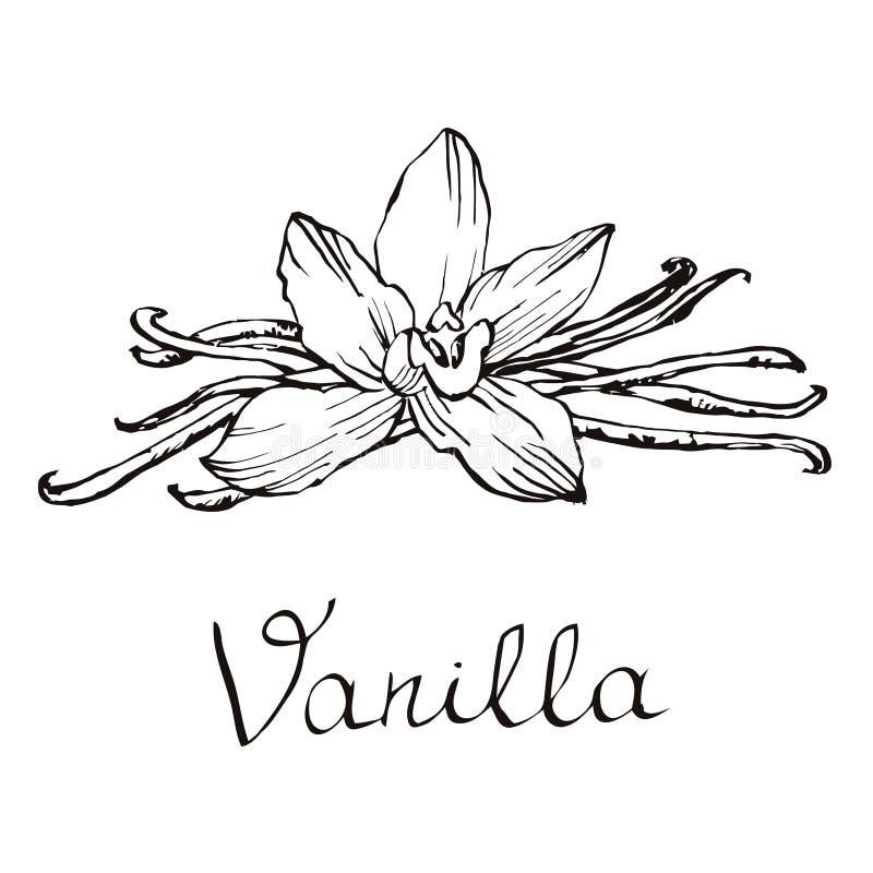 Waniliowi piękni kwiaty i fasole Ręka rysująca kreśli wektorową ilustrację na białym tle w rocznika stylu obrazy stock