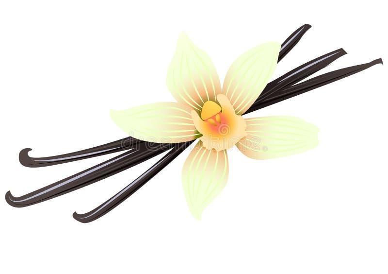 Waniliowi strąki i kwiat ilustracja wektor
